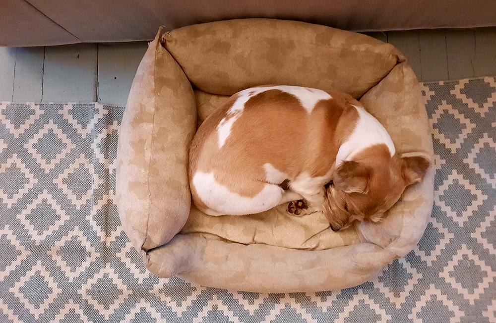 Koira nukkuu, Brava Dog Mania peti